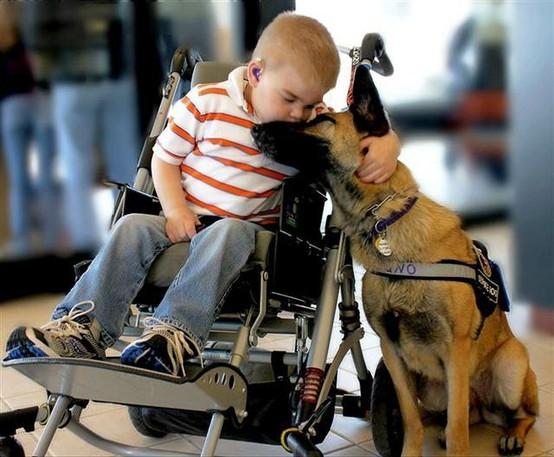 german-shepherd-service-dog