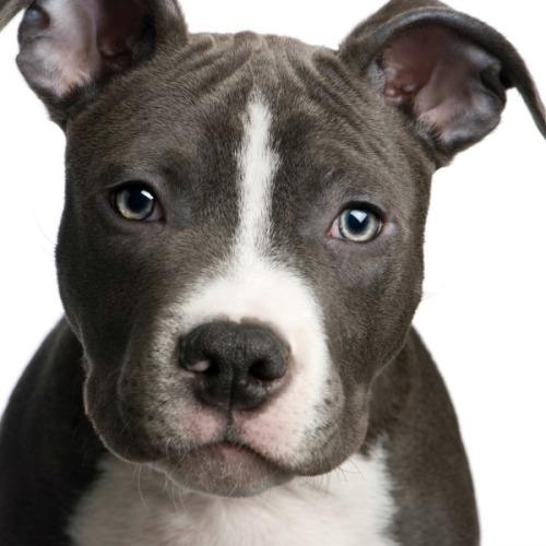 pit_bull_puppy_l1