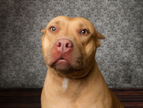 Pitbull dog looking at camera