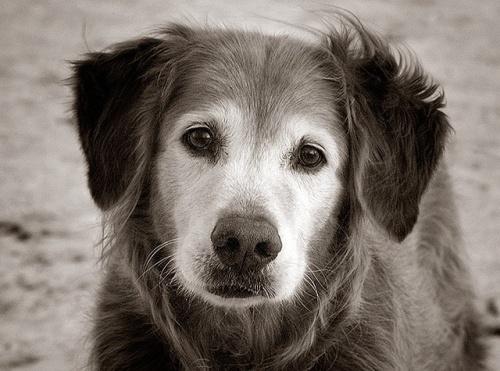 old-dog-4