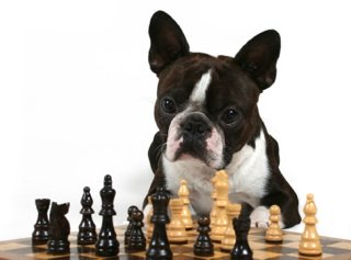 pug dog playing chess