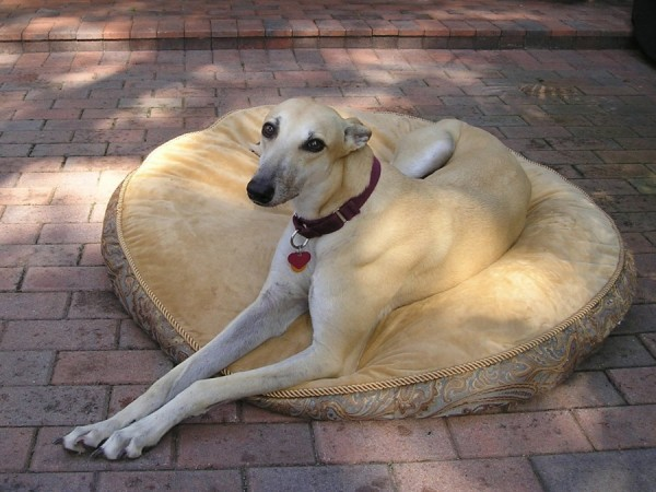 greyhound on a dog bed