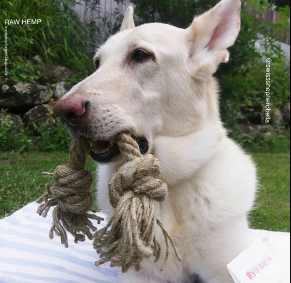 Dog playing with hemp rope toy