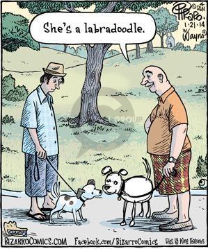 labradoodle dog