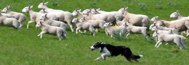 Sheep dog working