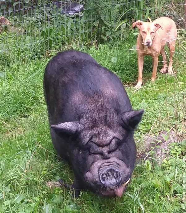 GG the pig & Olivia the dog