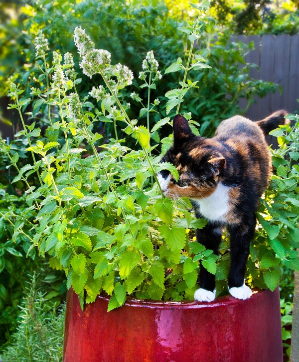a cat enjoying catnip