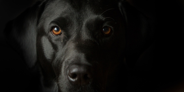 a black dog face