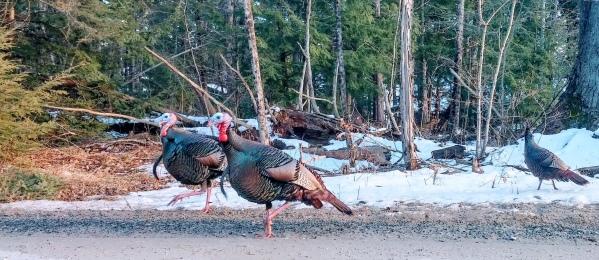 Wild Turkeys on a snowy road